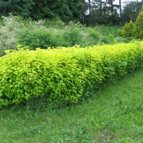 Зеленая стенка из низкорослых кустарников