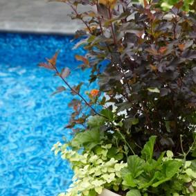 Карликовый пузыреплодник в садовом вазоне