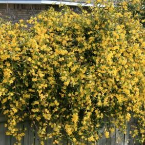 Куст садового жасмина с желтыми цветками