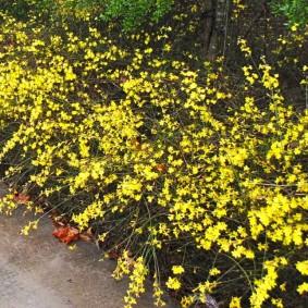 Миксбордер из многолетнего жасмина с желтыми цветками