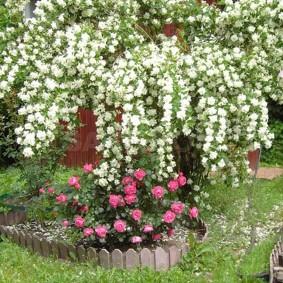 Кустики роз под высоким жасмином с белыми соцветиями