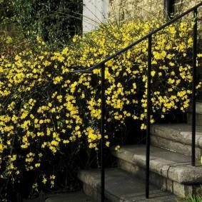 Кусты жасмина около лестницы с металлическими перилами