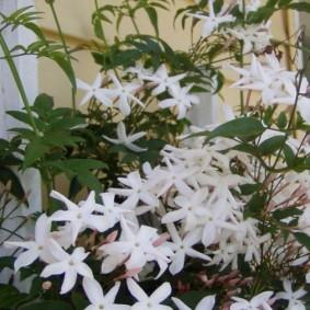 Длинные лепестки на красивых цветках жасмина