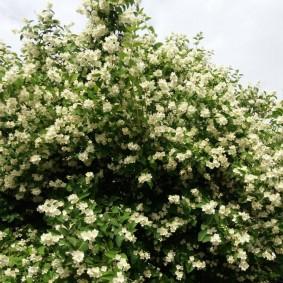 Высокие ветки кустарника с белыми цветками