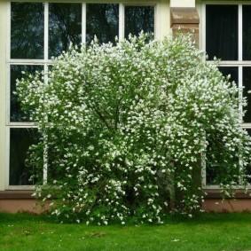 Кустовой жасмин перед окнами частного дома