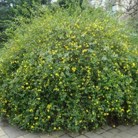 Заросший куст вечнозеленого жасмина