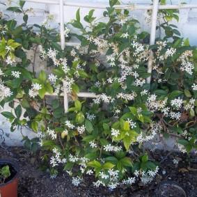 Выращивание жасмина на вертикальной опоре