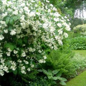 Куст чубушника с крупными цветками