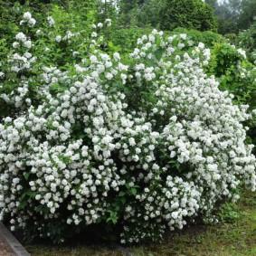 Летнее цветение садового жасмина на даче