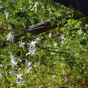 Тонкие ветки гибридного жасмина с цветками среднего размера