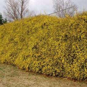 Живая изгородь из кустарника с желтыми соцветиями
