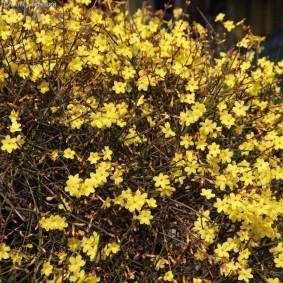 Желтые цветки на одеревеневших ветках