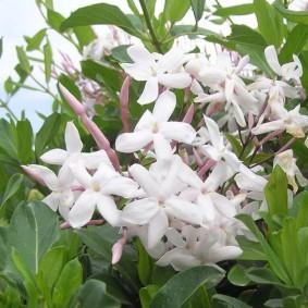 Красивые соцветия жасмина многоцветкового