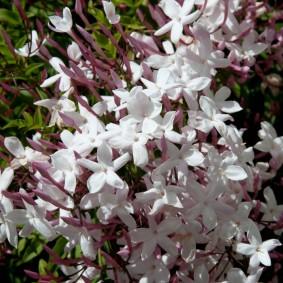 Бело-розовые цветки с пятью лепестками