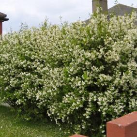Кусты мелкоцветкового жасмина в палисаднике частного дома
