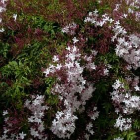 Цветки жасмина кустового сорта