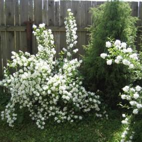 Обильное цветение чубушника на садовом участке