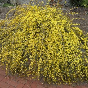 Повислые ветки с желтыми соцветиями