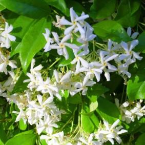 Белые цветки с желтой сердцевиной