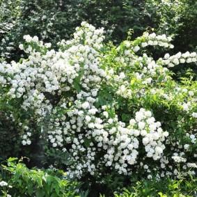 Цветущие кустарники в ландшафте сада