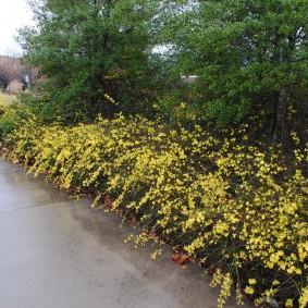 Низкие кустики жасмина вдоль парковой дорожки