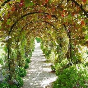Виноградная лоза на металлической арке