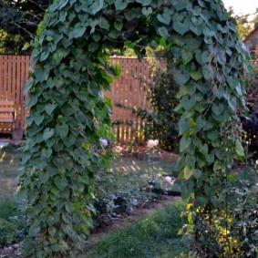 Зеленый плющ на узкой арке