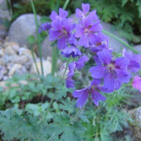 Сиренево-голубые цветки на длинных стебельках