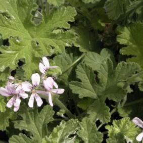 Редкая расцветка герани с резными листьями