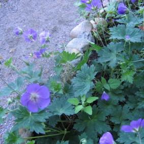 Голубые цветы у края клумбы на даче