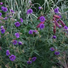 Длинные цветоносы с сиреневыми цветками