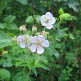 Пятилепестковые цветки светлого окраса