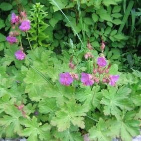 Цветение герани в начале июня