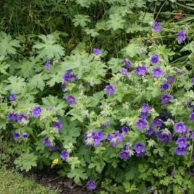 Летние цветки на кустиках герани
