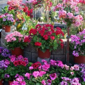 Садовая композиция из разных сортов герани