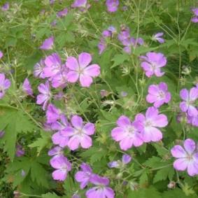 Садовая герань в период обильного цветения