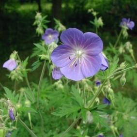 Сиреневый цветок среднего размера