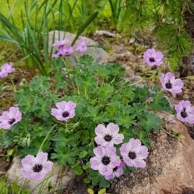 Необычная окраска цветков селекционной герани