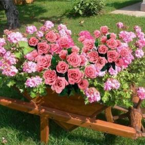 Садовая тачка в роли клумбы с розами и геранью