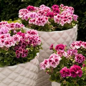 Красивые цветки садовой пеларгонии