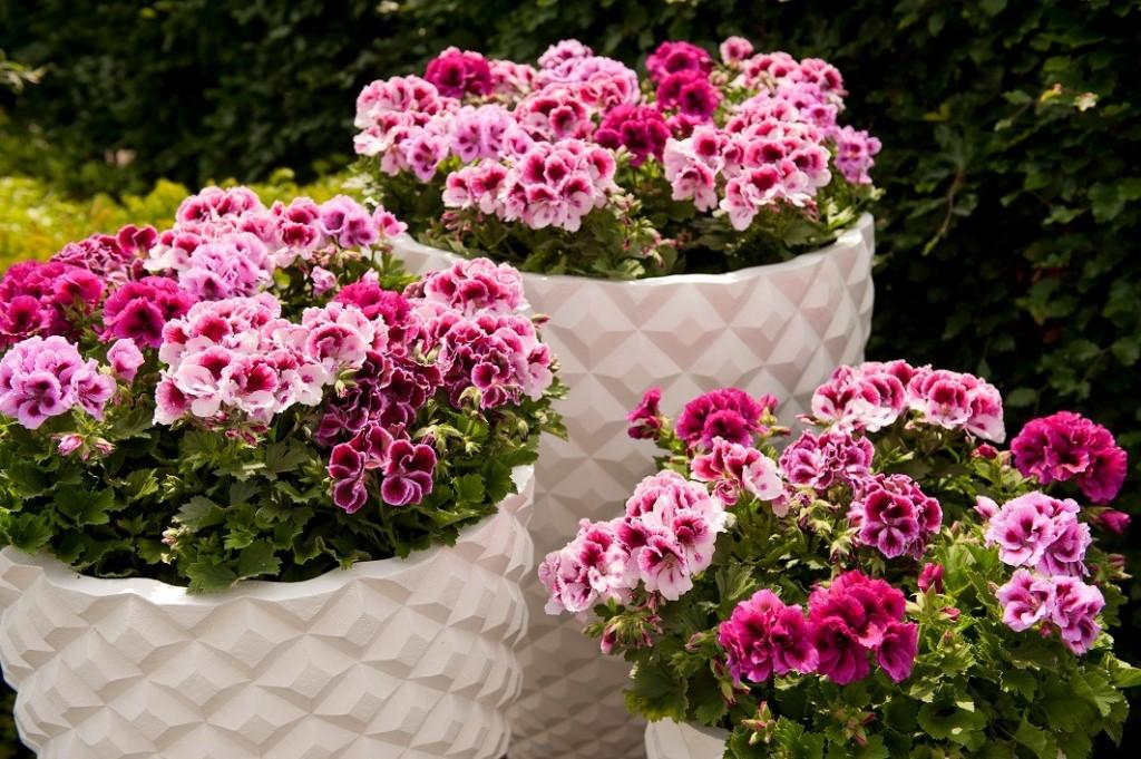 олеофобное покрытие, герань фото цветов в саду кадре любая оплошность