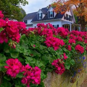 Красная пеларгония в ландшафте сада