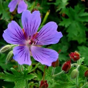 Сиреневый цветок гибридной пеларгонии