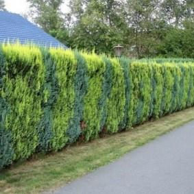 Чередование растений с разной хвоей в живой изгороди