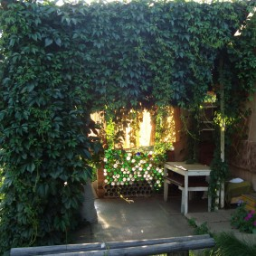 Девичий виноград на перголе у загородного дома