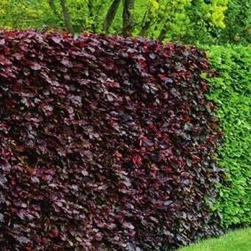 Красивая стенка из быстрорастущих вьюнов