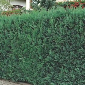 Живой забор из вечнозеленого можжевельника
