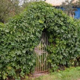 Садовая калитка в стенке из вьющихся однолетников