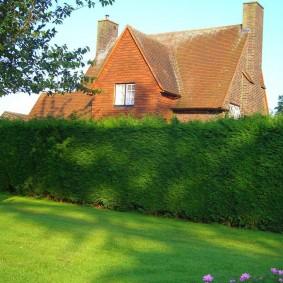 Высокий забор из вечнозеленых растений