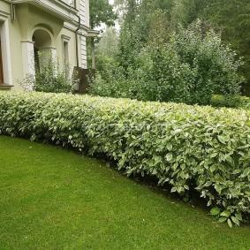 Живая стенка из кустарников с пестрой листвой